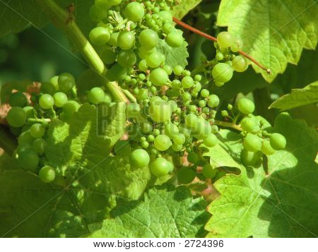 Green Grapes Nearing Harvest Time