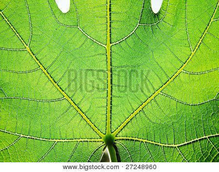 Figs Green leaf texture. Series