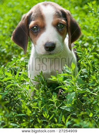 Estonian Hound puppy