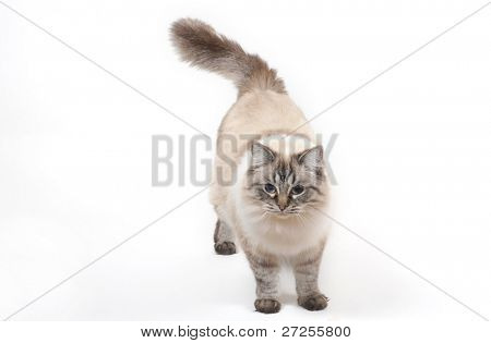 Ragdoll cat, standing in front of white background