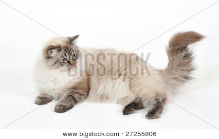 Ragdoll cat, lying in front of white background