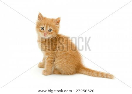 kitten red funny isolated on white background