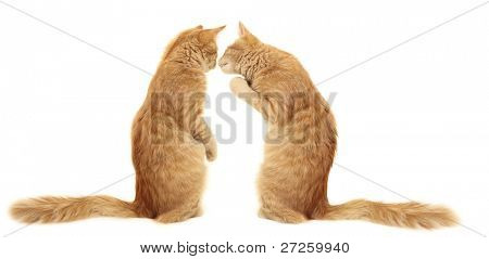 kittens kissing  isolated on white background