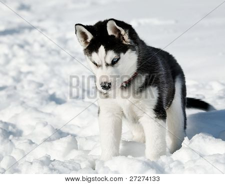 Playing Husky cub