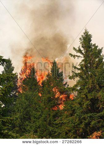 Bosque de coníferas en fuego