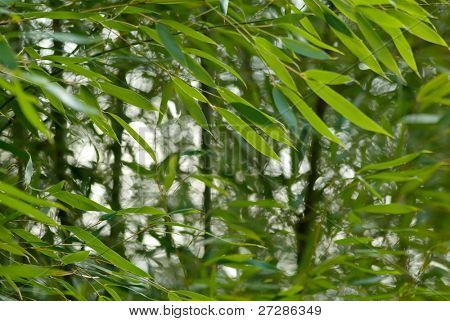 Bamboo garden in green and motion blurred by wind.