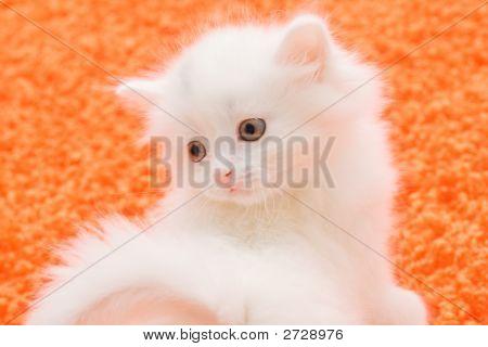 White Cat At Orange Carpet