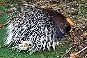 Crested Porcupine, Or Comb Porcupine (hystrix Cristata) Is A Large Rodent; The Second Largest In The poster