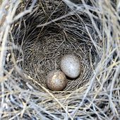 foto of bird-nest  - two eggs in nest - JPG