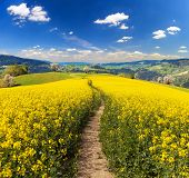 Field Of Rapeseed, Canola Or Colza In Latin Brassica Napus With Path Way And Beautiful Cloudy Sky, R poster