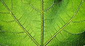 picture of chloroplast  - Green leaf texture - JPG