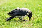 Black Crow Walks On Green Lawn With Copy Space. Raven On Grass. Wild Bird On Meadow. Predatory Anima poster
