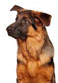picture of german-sheperd  - German Shepherd puppy - JPG