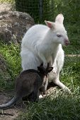 The Albino  Red Necked Wallaby Is Nursing Her Brown Joey poster