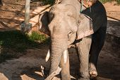 The Elephant Farm Was Reared For Tourists,.asian Elephant poster