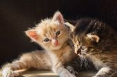 Two Little Fluffy Playing Kitten In The Sunrays. Selective Focus poster