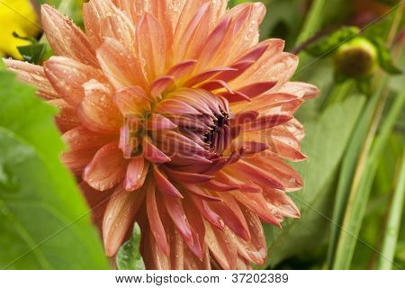 Dark pink dahlia flower on grass background