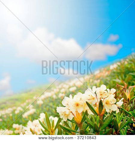 wildflowers. gift card.  mountain meadow field of white flowers against the sky. Rhododendron caucasicum Pall