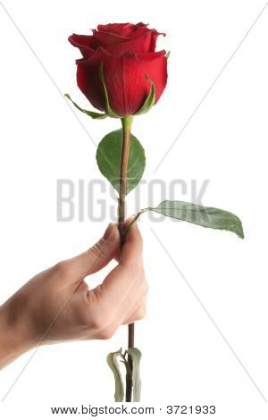 Hand Giving Or Holding Rose, Isolated