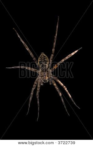 Fishing Spider Black Background