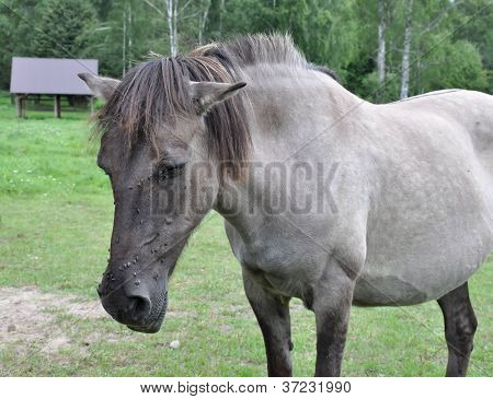 Old Sick Horse