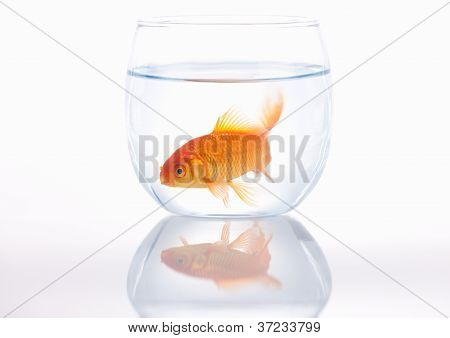 Gold fish in a small bowl