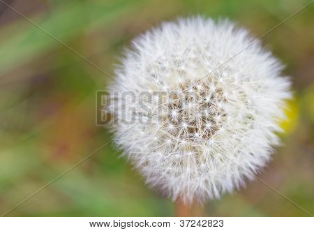 Dandelion With Textspace