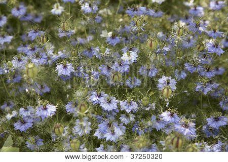 Lots Of Nigella Damascena Flowers