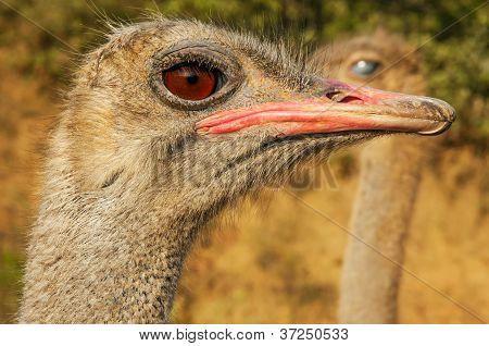 Ostrich Closeups