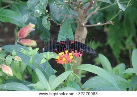 Scarlet Mormon - Papilio Deiphobus Rumanzovia