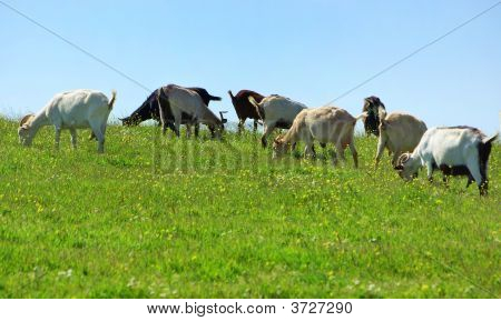 Goats  In Farm.