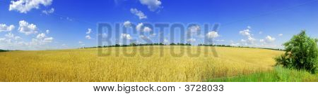 Yellow Wheat And Blue Sky Panorama
