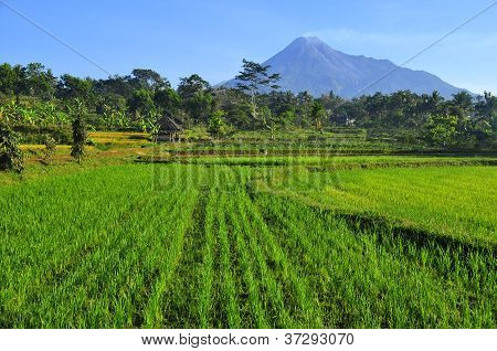 Rice Field and Active Volcano