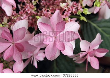 Hydrangea flowers also called Hydrangea Claudie or Hydrangea macrophylla
