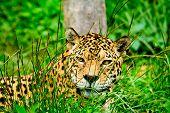 Постер, плакат: Jaguar глядя на тебя