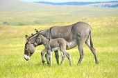 image of burro  - A mother and baby burro standing in a field of grass at Custer State Park South Dakots - JPG