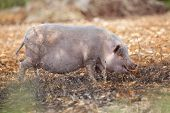 Domestic Pig Mammal Outdoor In Summer poster
