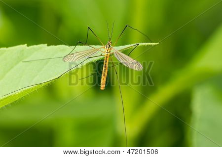Mosquito  On The Leaf