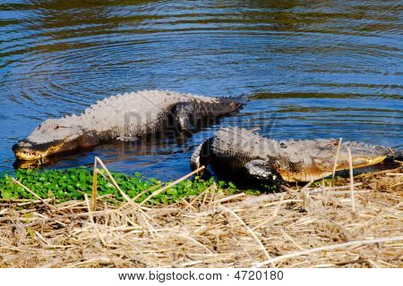 Alligators On Shore Bank