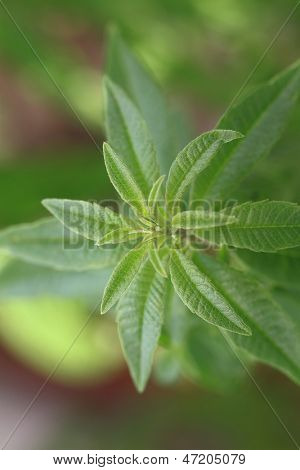 Close up of fresh lemon verbena