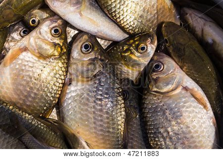Background Of Small Fish Caught In The River Crucian