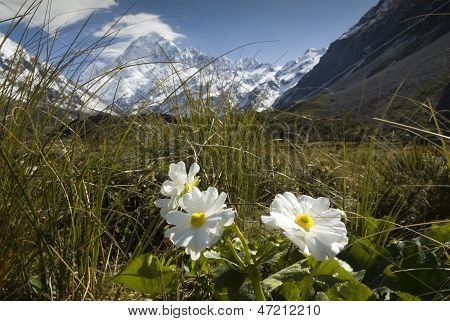 Mt Cook with Lily or Buttercups, National Park, New Zealand
