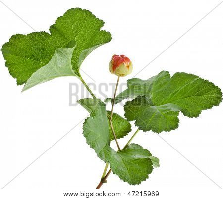 cloudberry plant close up isolated on white background