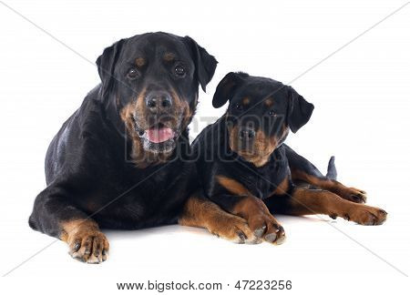 Rottweiler, Puppy And Adult