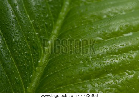 Macro Of Leaf With Water Drops