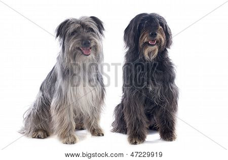 Pyrenean Sheepdogs