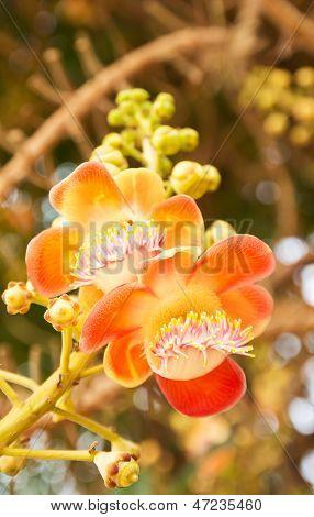 Shorea Robusta Or Cannonball Flower