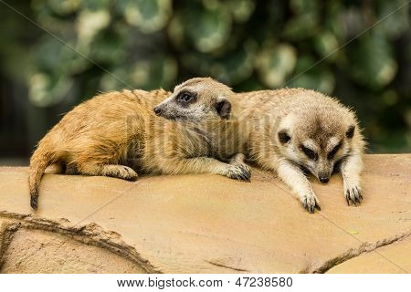 Meerkat Resting On Ground