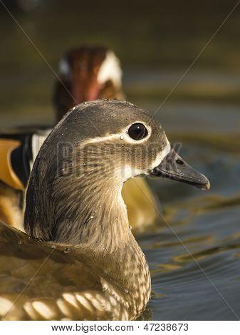 Mandarin Duck / Aix galericulata