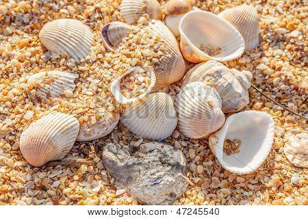 Shell Molluscs On The Beach